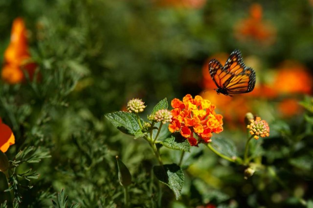 A monarch butterfly lands on a bright orange flower