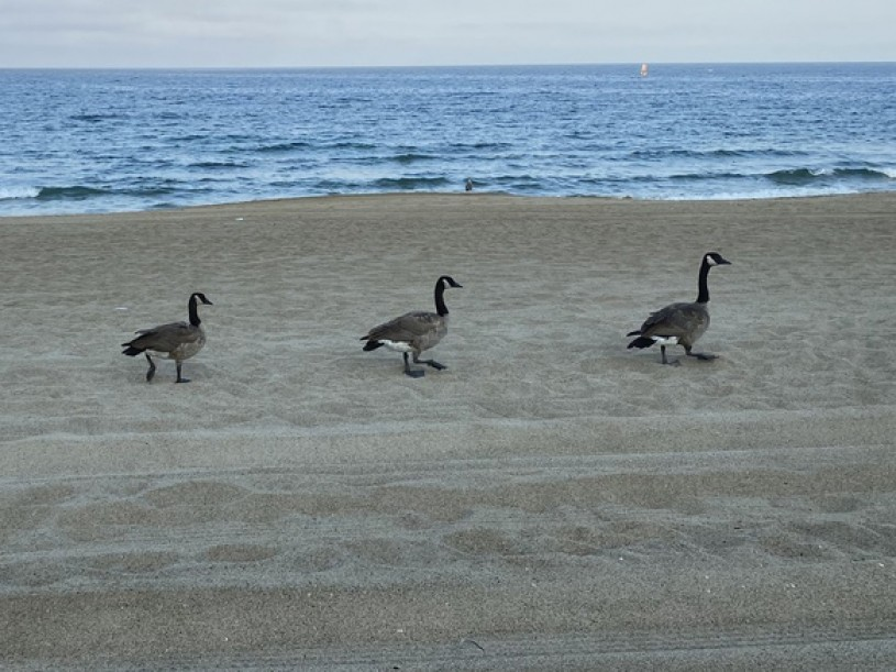 canada geese cropped