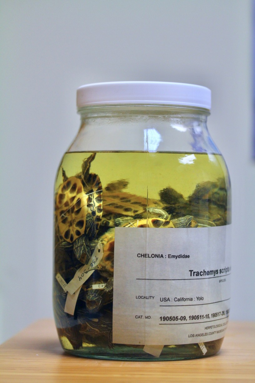 Jar of red-eared sliders turtles collection