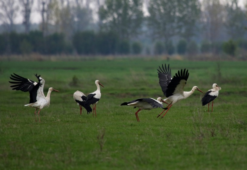 White storks on a field
