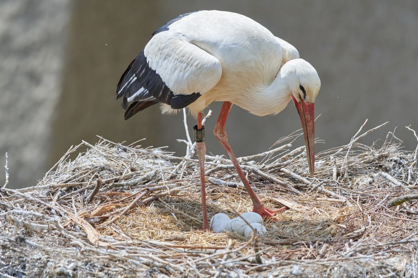 White Stock in nest with eggs
